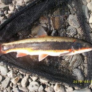 今年も多摩川にマルタウグイの季節がやってきました