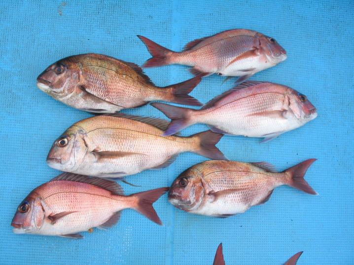 釣たての魚は美味しいねとおだてられ調子に乗る