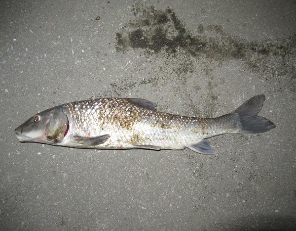 1ヶ月ぶりの魚