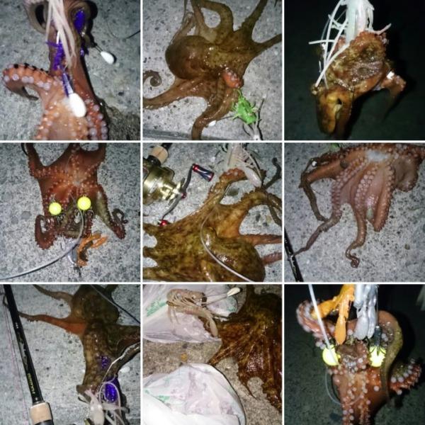 今夜もガッツリと5蛸get✨ワンナック販売デビルエイト改良版&デビルパラシュート‼最強ルアーです(^^)v
