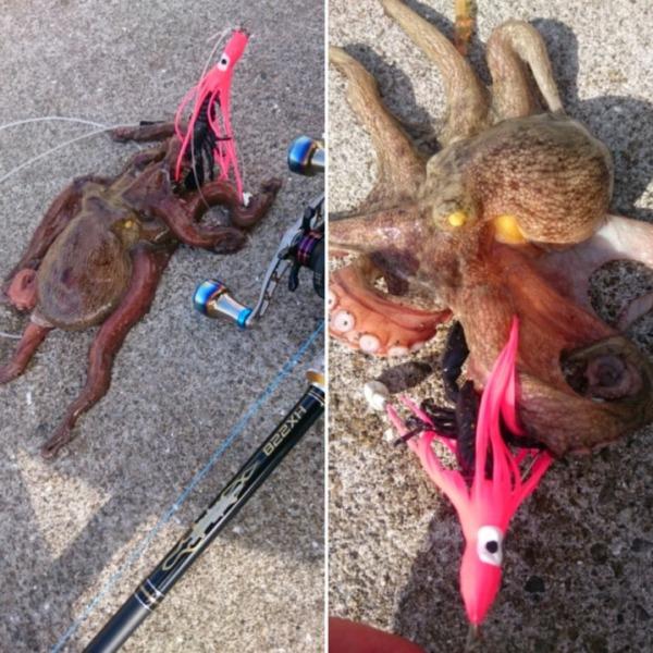 御盆休み…2発目❗早朝より蛸狩り↑手こずりましたが(..)ワンナック販売Newデビルクローブラックラメで2蛸GET‼