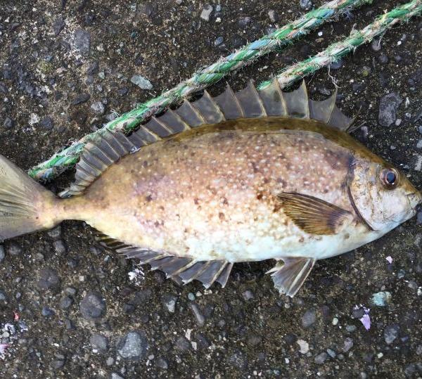 ウキ釣りで海のハリネズミが釣れた!