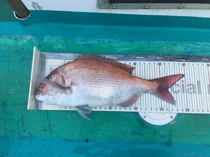 60センチ真鯛釣ったぞー!