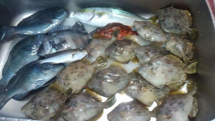葉山でのボート釣りの釣果で~す!カワハギイナダイシダイカサゴなど