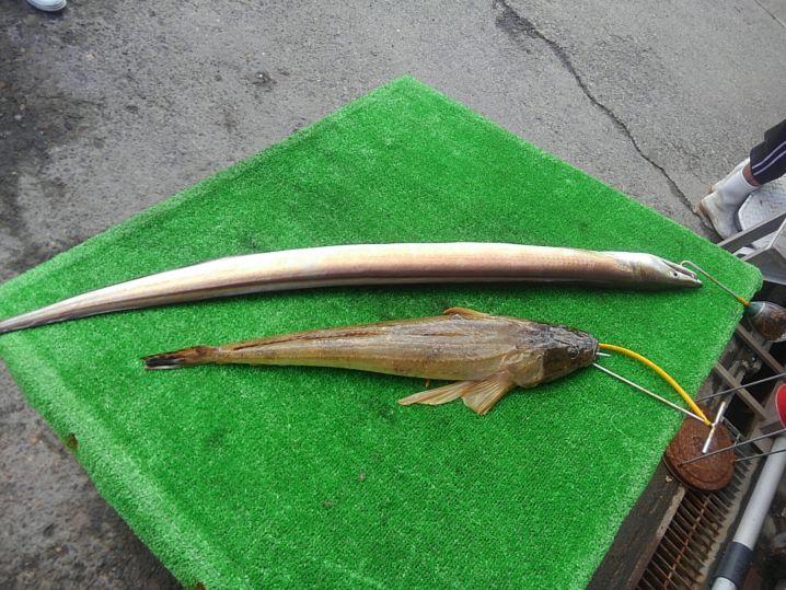 ハモ 1m×1匹 マゴチ60cm ×1匹