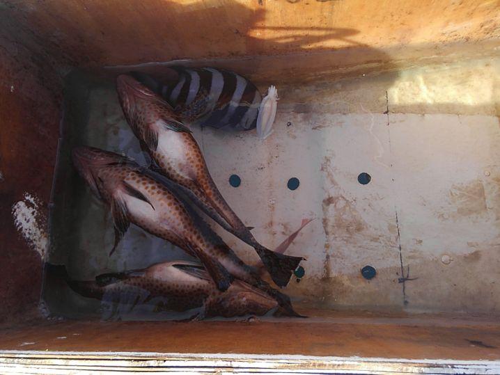 オオモンハタ35cm 頭×3匹 サンバソウ チャリコ