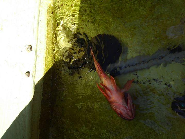 アオリ 胴長19cm  うっかりカサゴ 27cm