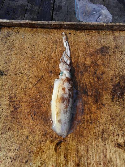 アオリ 胴長26.5cm   800 g