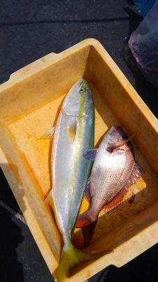 ワラサと真鯛のダブルゲット