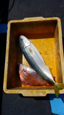 ワラサと真鯛のダブルヒット