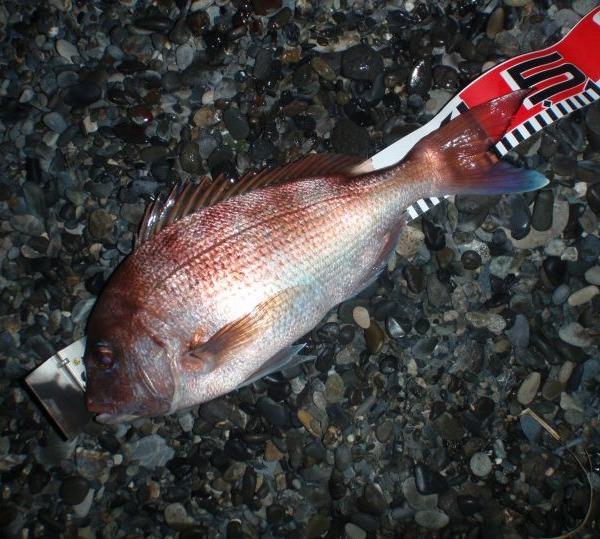 長野から遊びに来た釣り友が、真鯛を釣った!!
