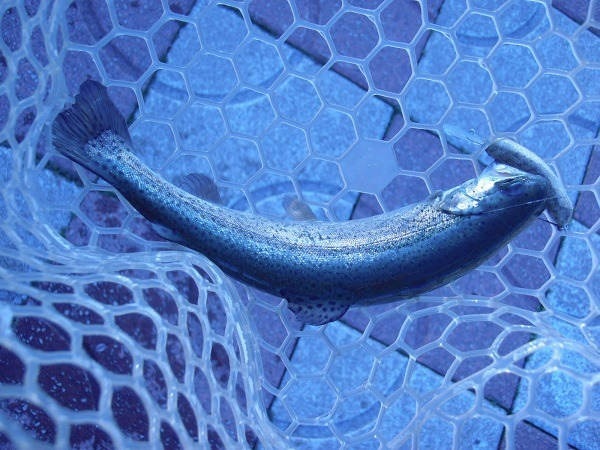 自作のハンドメイドルアー pemクラの魚皮貼りで釣ってきました♪