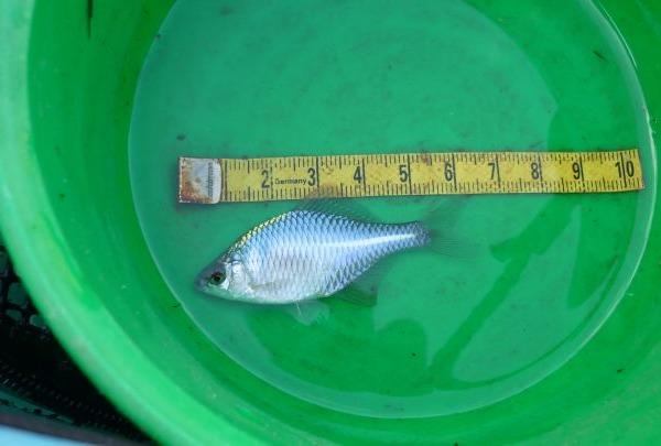 64ミリ・タナゴ釣り