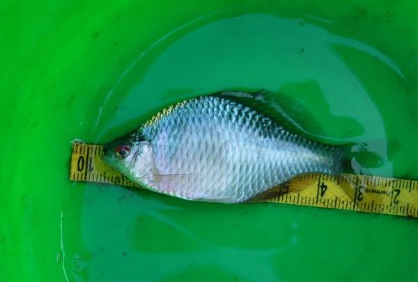 年末ジャンボタナゴ釣り!