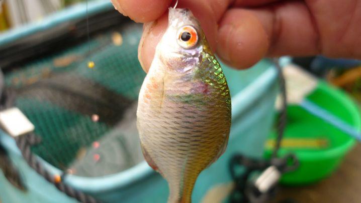2016/9/24タナゴ釣り