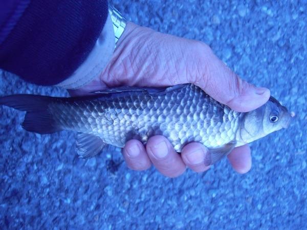 御近所釣行 竿を満月のようにしならせるおじさんギャラリーを沸かせた良型鮒を釣った