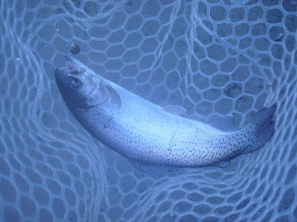 こちらも、ペレットタイムまん丸での釣果。本日の釣果の半分は、この…
