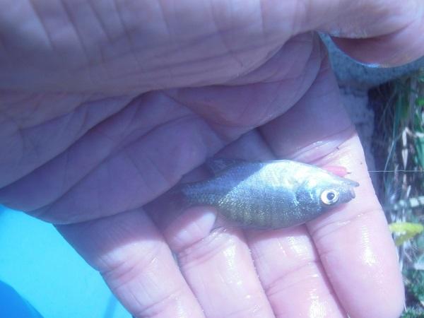 そして、こちらが最小魚で、5cmほど。こんなのでも、釣れるとなる…