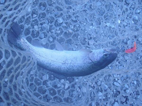 ちょっと前の日本イワナセンターさんでの釣行で お気に入りのライス22で釣りましたヽ(・∀・)ノ