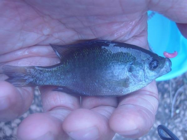 親水公園にご近所釣行 30分で3匹とちょっと残念な釣果でした