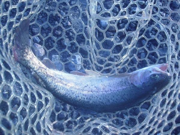 自作の魚皮貼りルアーを川場FPさんで実釣検証 しっかり釣れました(≧∇≦)