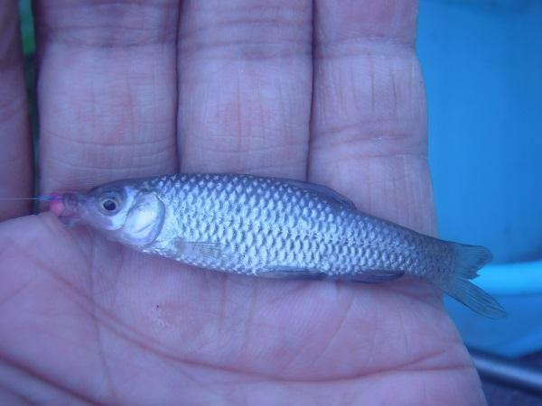 2匹目は、クチボソ君。他魚種の小物が釣れていると注目度の低い君だ…