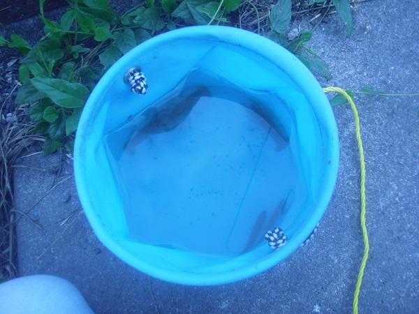 本日の釣果は、クチボソ2匹、ザリ3匹の計5匹ここ。最近は、ずっと…
