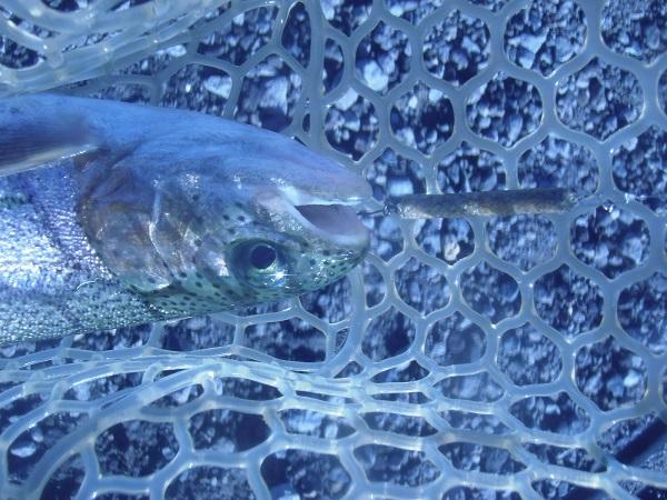 魚皮貼りのスティックルアー「なんちゃってX」での本日の初釣果。が…
