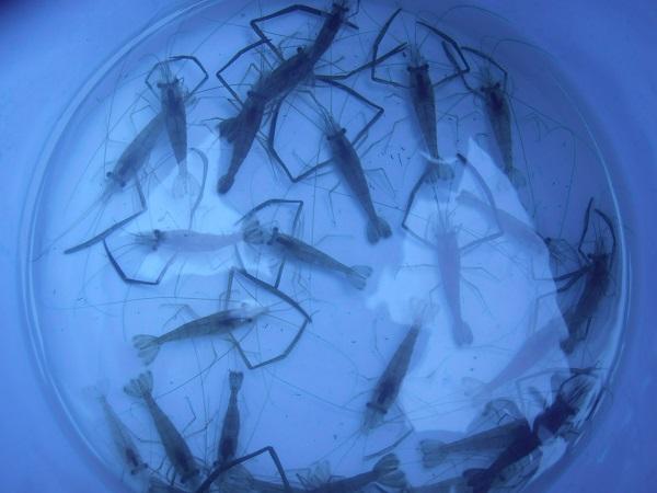 いよいよテナガエビ釣りのシーズンインです。週末は、早起きしてエビ…