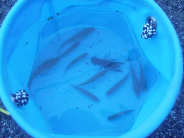 本日の釣果です。久しぶりに小鮒のいい引きを堪能しました。クチボソ…