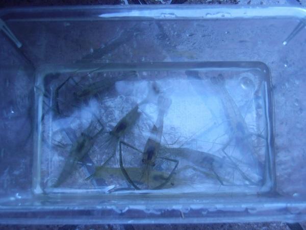 本日の釣果。抱卵メスエビ1匹リリースです。残りが7匹。いつもより…