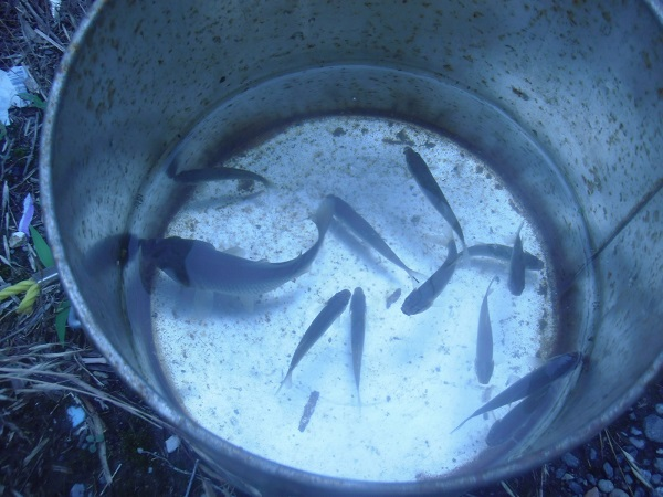 本日の釣果です。全部で12匹。クチボソと比べると小鮒が大きいのが…