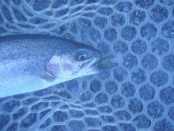 この日一番つれた「エアーペレットSS」。トータル8匹の釣果でした…