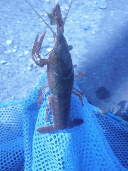御近所釣行 近所の水路で20分ひたすらザリガニだけ釣ってみた(´・д・`) 15匹釣れました