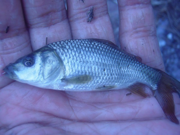 御近所釣行 田んぼ脇の小さい水路で、10分間で小鮒もクチボソも釣りました(*^ワ^*)