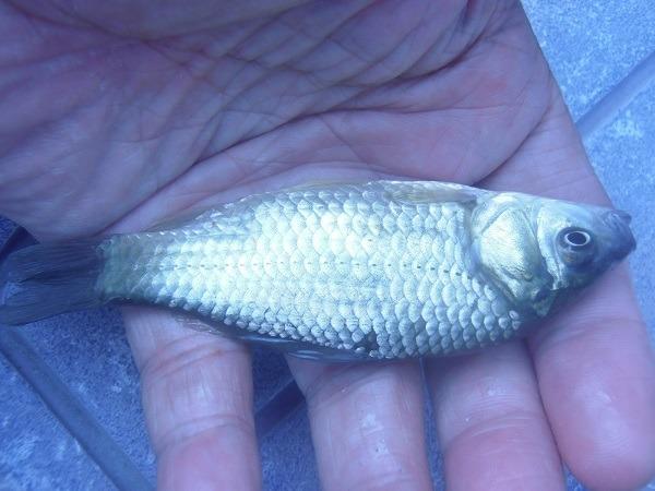 御近所釣行 ザリガニいっぱいだった水路に再挑戦でクチボソが大漁(*`▽´*)