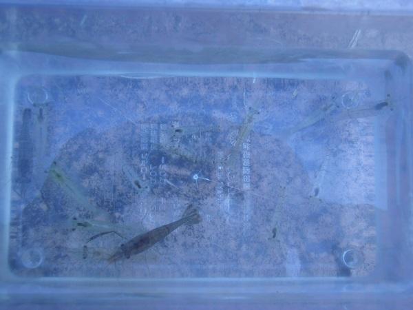 画像中のテナガエビは13匹ほど。抱卵メスエビは、全釣果の3割ほど…