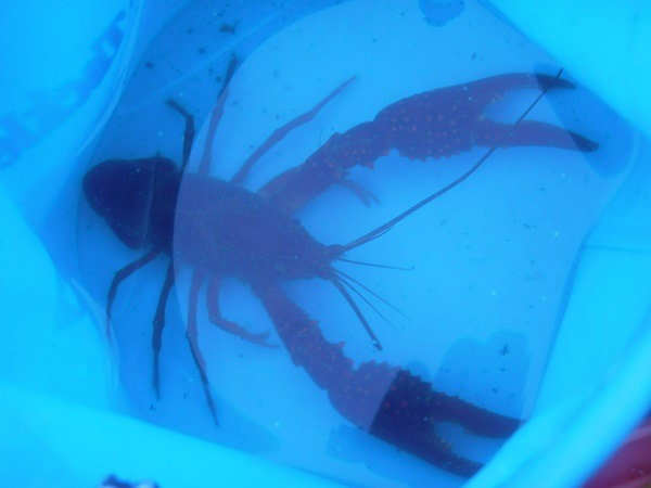 御近所釣行 近所の水路でおよそ18cmほどのドデカサイズのマッカチンを捕獲(*`▽´*)