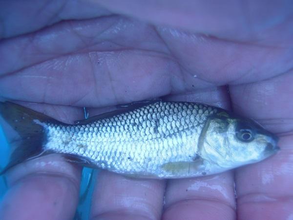 自転車ラリー釣行の2番目水路に夕方再度釣行しました 釣果は12匹(^―^)
