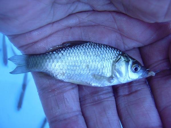 本日釣った中の唯一の「小鮒」。8cmほどの小さめサイズでしたが、…