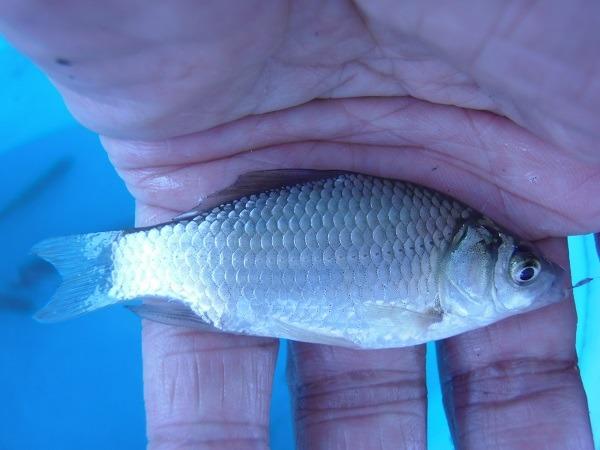 釣場のサービスカットも掲載  猛暑の中、ちょっと涼しく近所の水路に小物釣釣行 小鮒連発20分で釣果11匹でした\(@^0^@)/