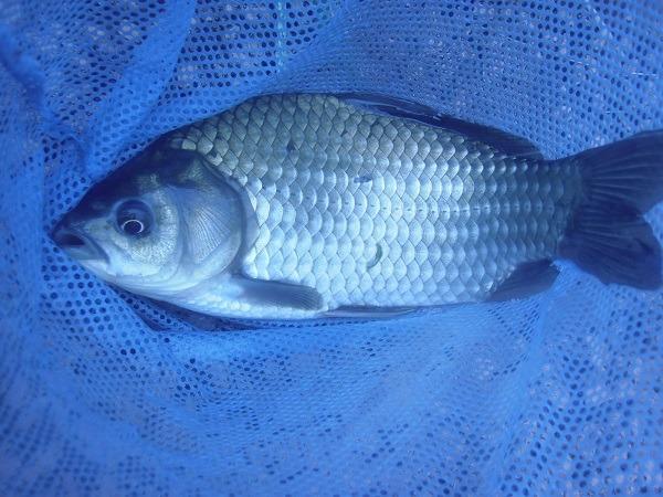 御近所釣行 テナガエビ釣りにきたはずが、何故か釣れた君 君の名はヘラブナ しかも良型(♉ฺ。♉ฺ)トホホ