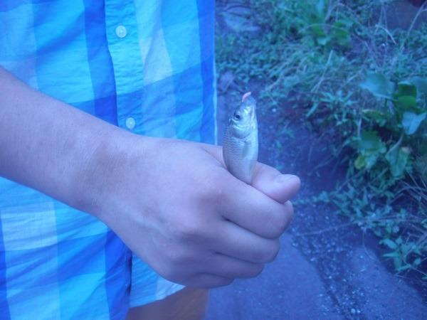 御近所釣行 金魚釣竿でGO 水路で30分 中学生の息子がなんと釣果7匹 たくさん釣れて御満悦(^―^)