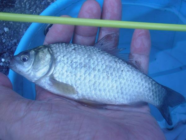 良型の鮒。サイズは16cmほど。金魚釣竿をぎゅんぎゅんと気持ちよ…