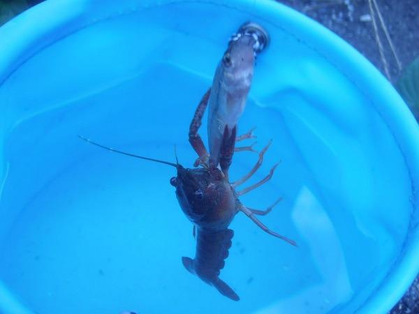 御近所釣行 金魚釣竿でGO 番外編 10分でマッカチンを3匹 (^―^)