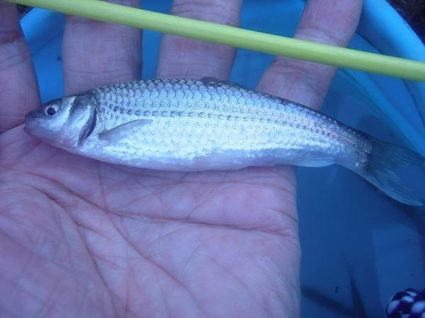 御近所釣行 金魚釣竿でGO お初の水路で30分 10cm超のデカクチボソをゲット (^―^)