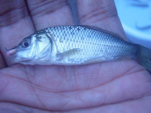 小鮒は2匹釣りました。6cmと7cmくらいのが1匹ずつ。こちらは…