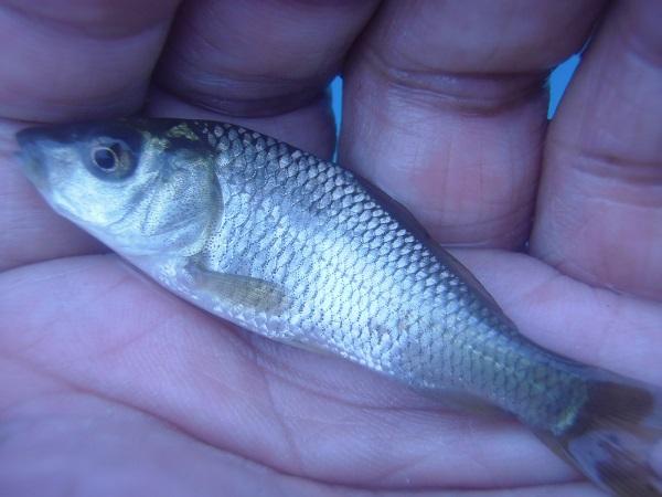 御近所釣行 俺はクチボソ大将か 午後も別の水路にお出かけ 小鮒とクチボソで計22匹ゲット (^―^)