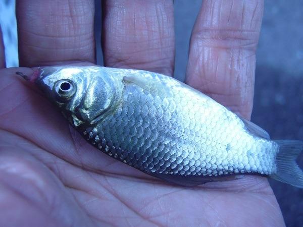 御近所釣行 雨の日でも釣りしたくないですか 雨傘、カッパも不要な秘密の水路で釣ってきました(^―^)