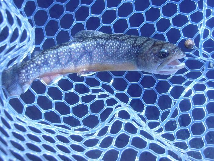 ペレットタイムでのこの日、初めての釣果。きれいな魚体です。ペレッ…